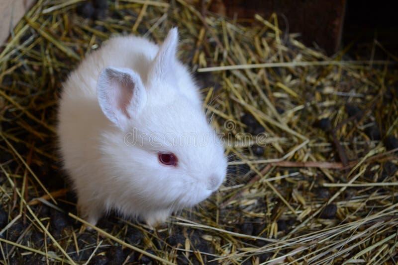 Liten vit kanincloseup royaltyfria bilder