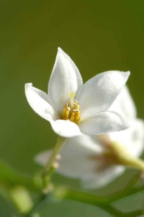 Liten White För Blomma Royaltyfri Bild