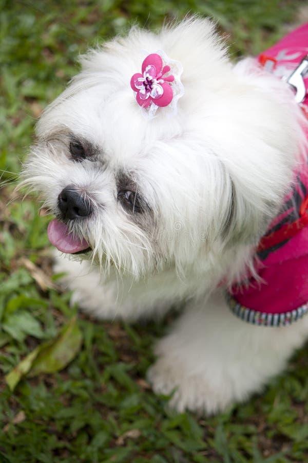 liten white för hund royaltyfria bilder
