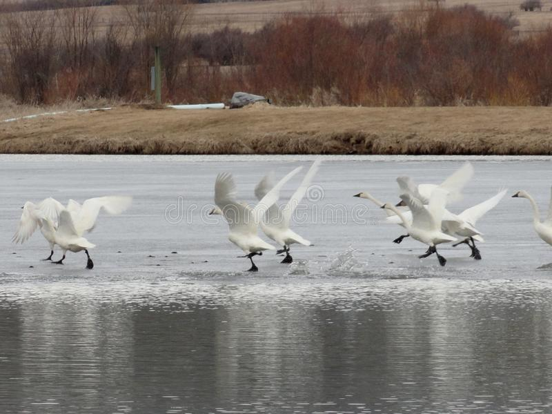 Literally Swan Lake... Swans Dancing on Ice in Winter near McCall, Idaho stock photography