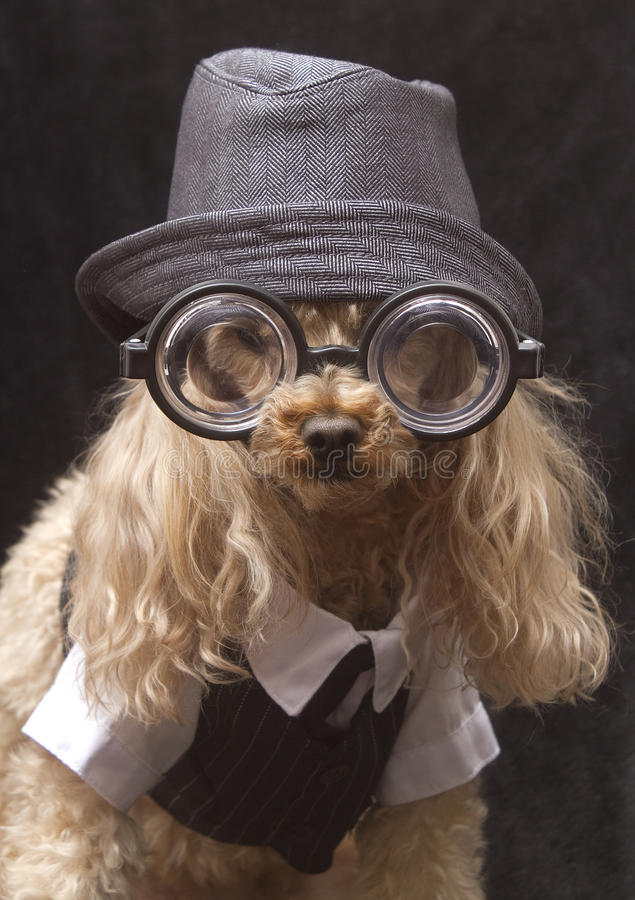 Literary Poodle. A poodle wearing thick reading glasses, a fedora hat and a vest and tie isolated on a black background royalty free stock photo