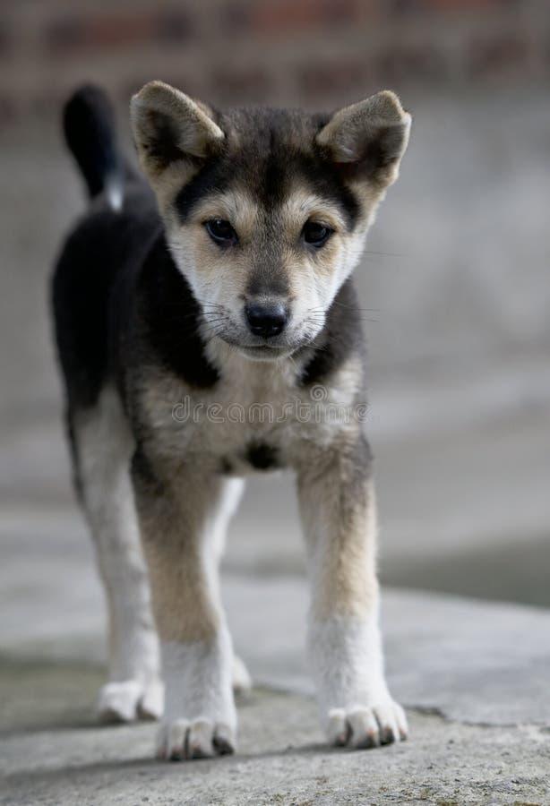 Litet anseende för valphund i oskarp naturlig bakgrund Liten vovve Hund 2 månad ålder fotografering för bildbyråer