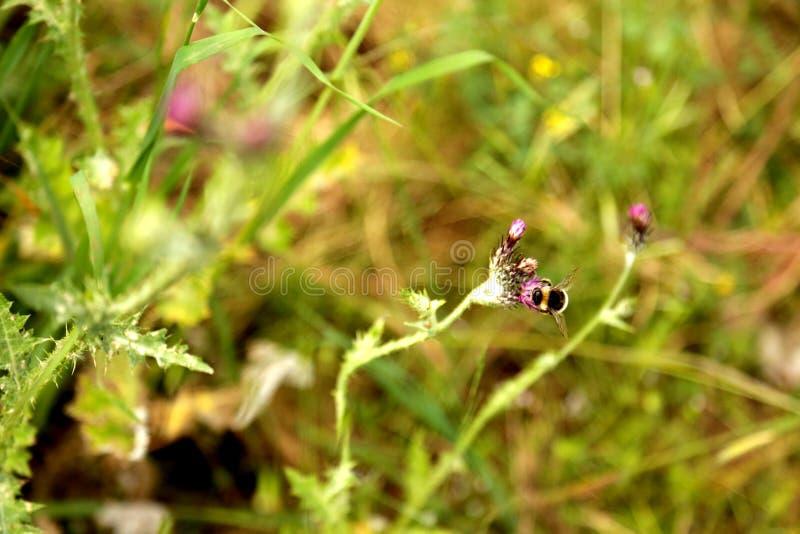 Litet bi som sätta sig på en lila blomma fotografering för bildbyråer