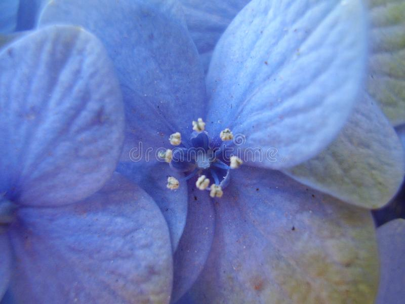 Litet blått vanlig hortensiablommaslut upp arkivbilder