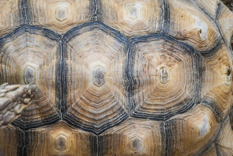 Litet detaljerat slut för sköldpaddaskalyttersida upp bästa sikt för modell fotografering för bildbyråer