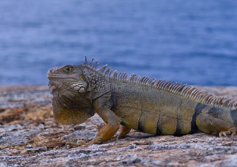 Litet djur på Puerto Rico royaltyfria foton
