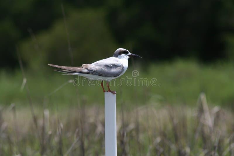 litet fågelanseende på pvc-röret med träskbakgrund royaltyfri fotografi