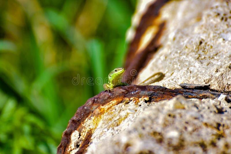 Litet grönt se för llizard fotografering för bildbyråer