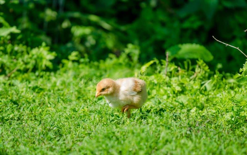 Litet gulligt behandla som ett barn fågelungen i gräset arkivfoto