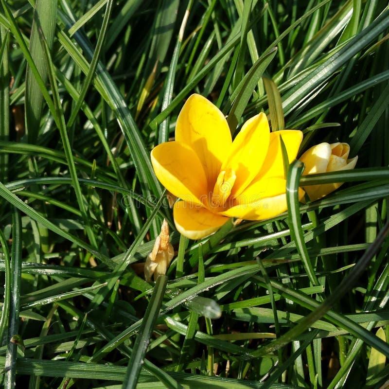 Litet gult gräsblommasolljus royaltyfri foto