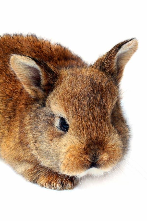 Litet kaninhuvud på vit bakgrund arkivbild