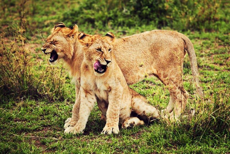 Litet leka för liongröngölingar. Tanzania Afrika royaltyfri fotografi