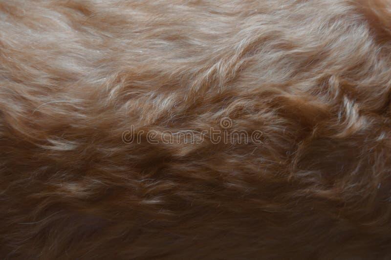 Litet lockig beige färgpäls av pudelhunden fotografering för bildbyråer