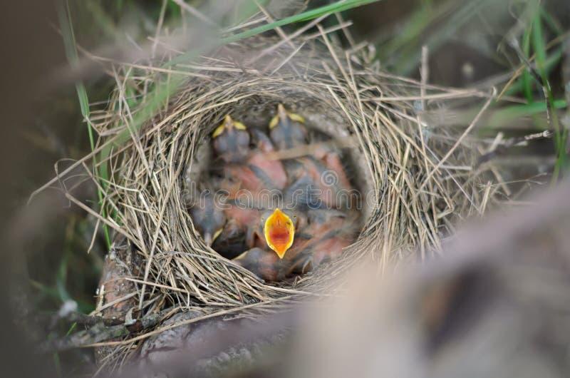 Litet nyfött behandla som ett barn fågeln av sångtrasten med näbb öppnar vitt att fråga för mat royaltyfria bilder