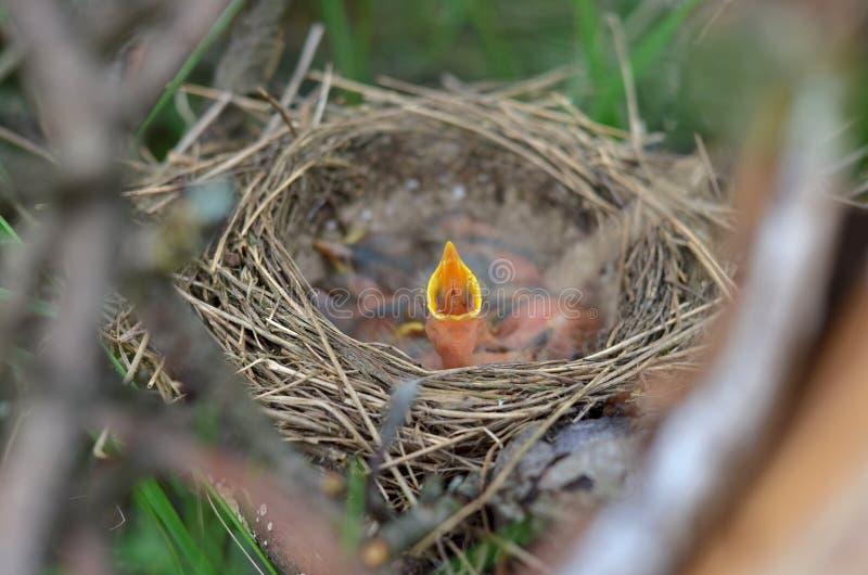 Litet nyfött behandla som ett barn fågeln i redet av sångtrasten med öppet vänta som ska matas royaltyfri bild