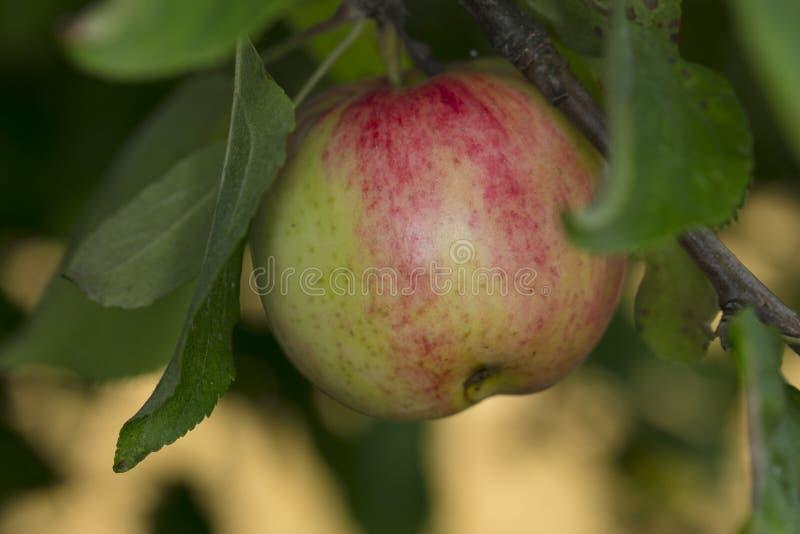 Litet omoget gräsplan-rött äpple arkivfoton