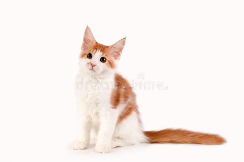 Litet rött kattungesammanträde på vit bakgrund royaltyfri bild