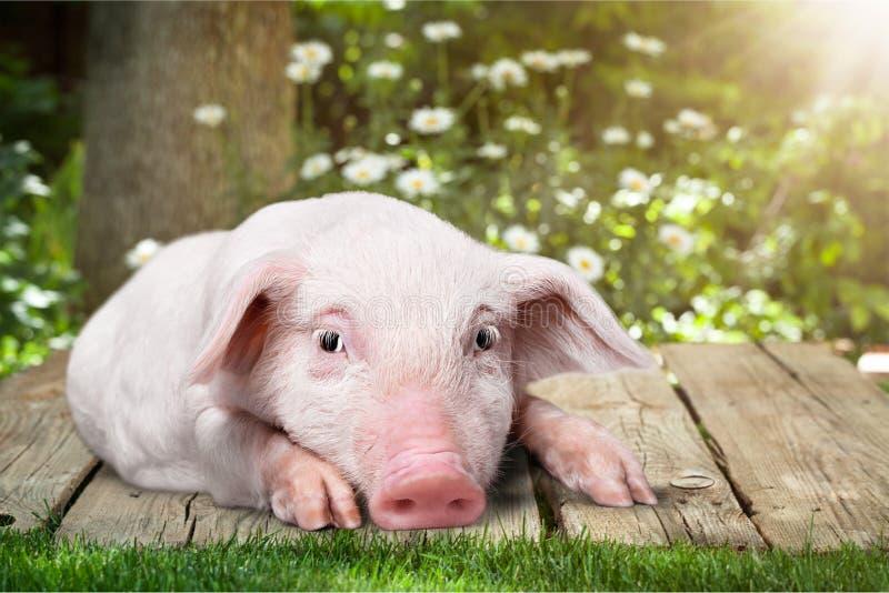 Litet rosa piggy på träbakgrund i trädgård arkivbilder