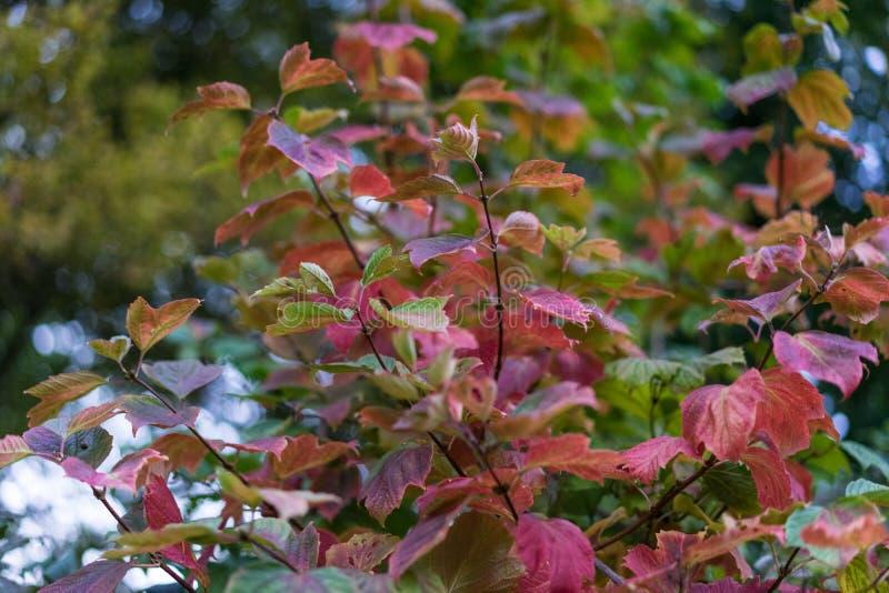 Litet rosa träd i höst royaltyfri foto