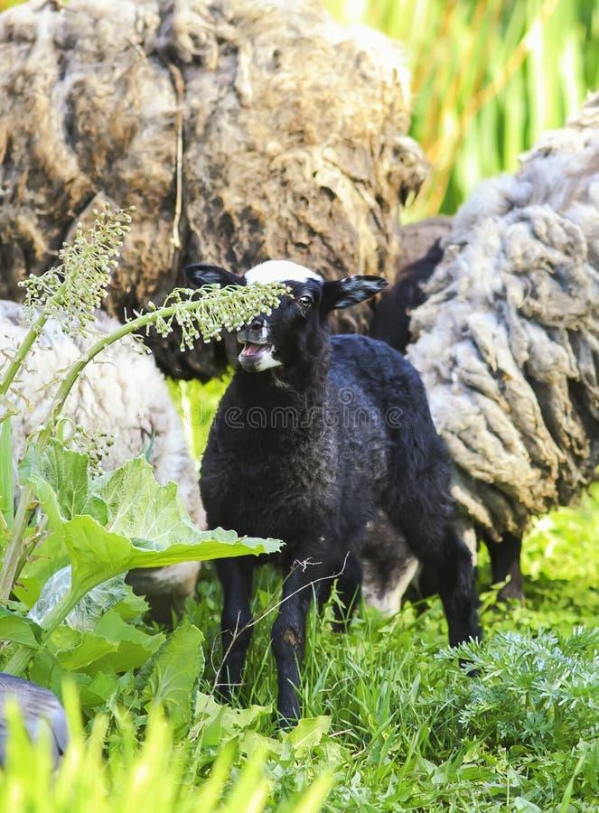 Litet svart lamm som betar på en frodig äng royaltyfri fotografi