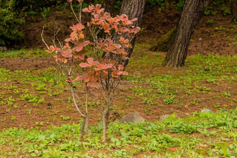 Litet träd med bruna sidor arkivfoton
