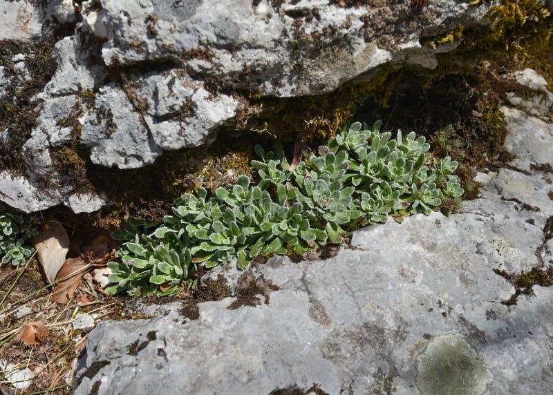 Litet vagga växten mellan två stenar arkivfoto