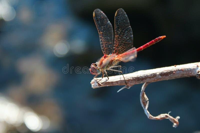 Download Litet vatten för bock arkivfoto. Bild av budd, vingar - 3533678