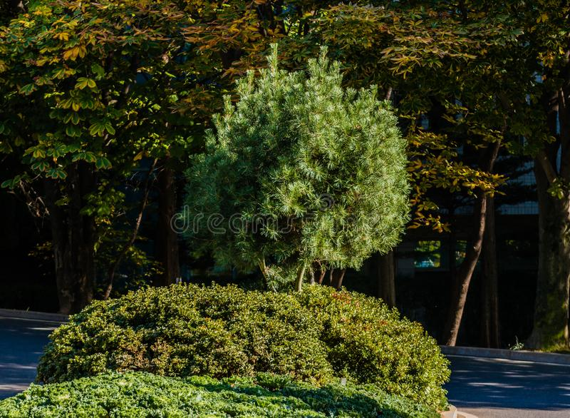 Litet vintergrönt träd på ljus solig dag royaltyfria bilder