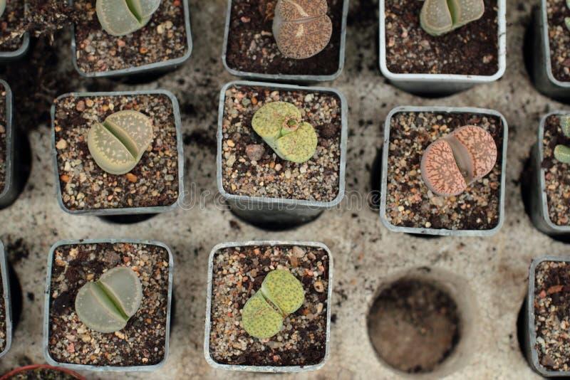 Lithops, живущие камни стоковые фото