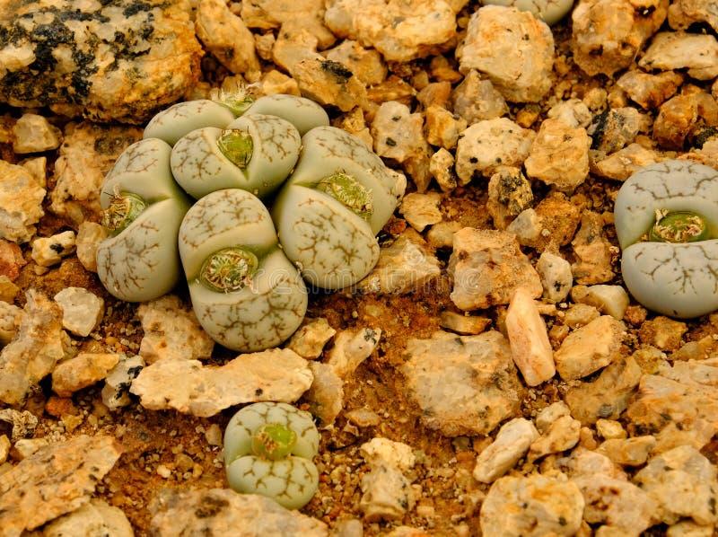 Lithops, суккулентный род необыкновенного похожего на утес завода, растя в баке питомника Эти succulents, также известные как жив стоковая фотография rf