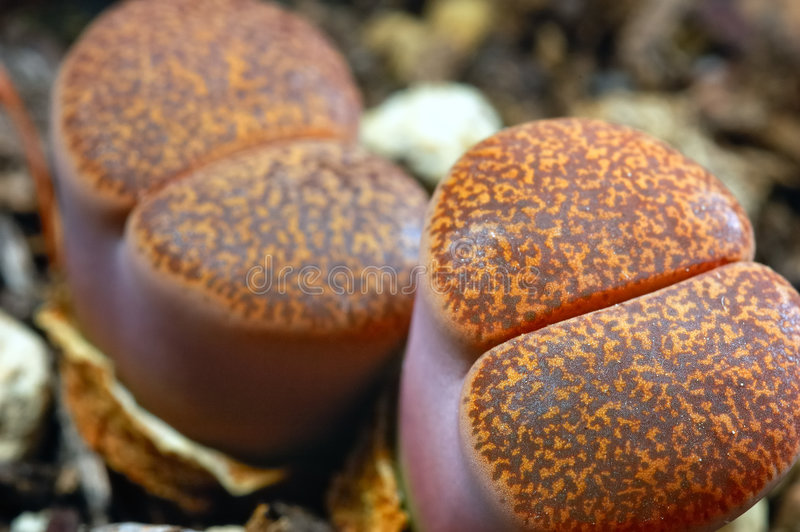 Lithops royalty free stock photo