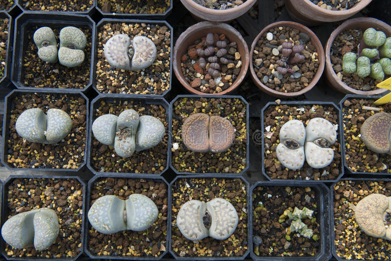 Download Lithops stock image. Image of home, exotic, cacti, cactus - 28138151