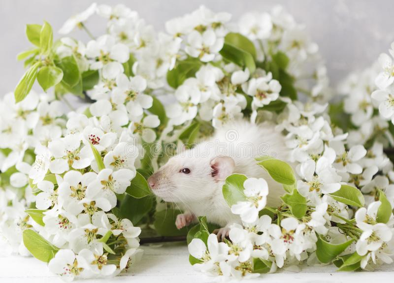 litle逗人喜爱的白色鼠特写镜头照片在美丽的开花的樱桃树的分支 免版税库存图片