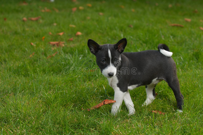 Download Litle Puppy Basenji Stock Images - Image: 2276804