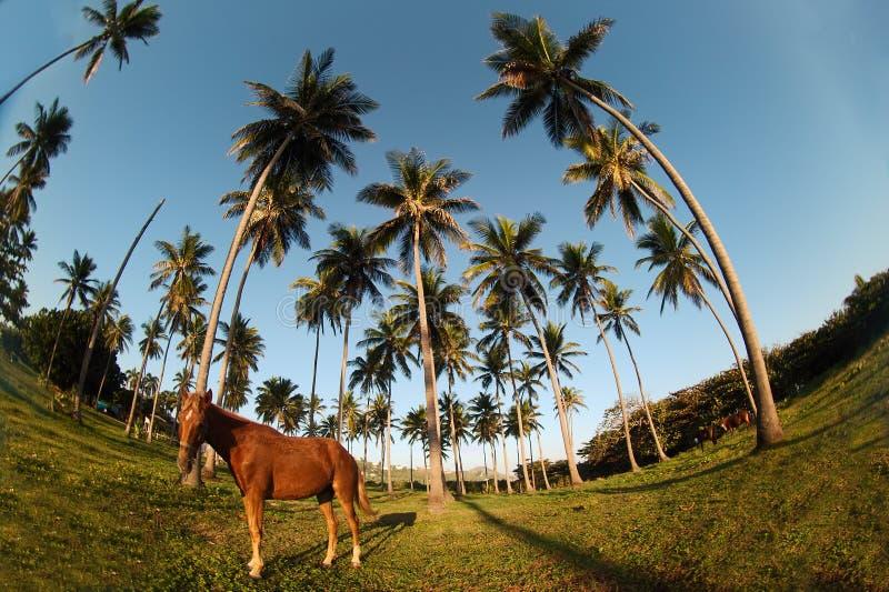 Litorale e cavallo domenicani immagini stock