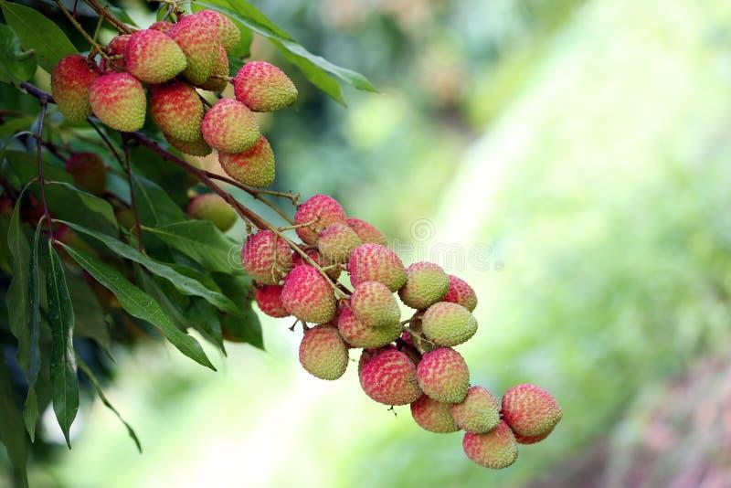 Litschi trägt Früchte, am Ort genannt Lichu am ranisonkoil, thakurgoan, Bangladesch lizenzfreie stockbilder