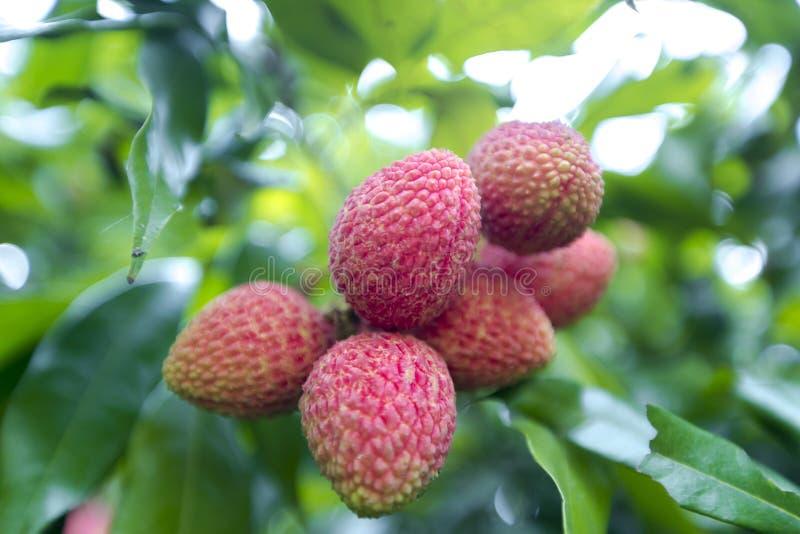 Litschi trägt Früchte, am Ort genannt Lichu am ranisonkoil, thakurgoan, Bangladesch lizenzfreies stockfoto