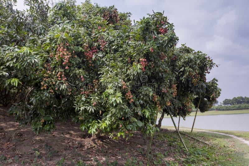 Litschi trägt Früchte, am Ort genannt Lichu am ranisonkoil, thakurgoan, Bangladesch stockbilder