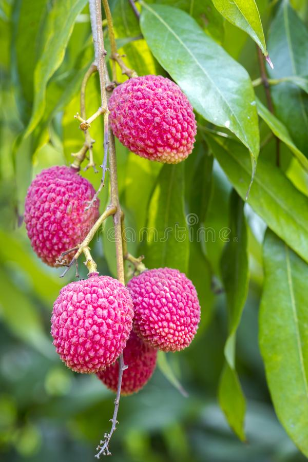 Litschi trägt Früchte, am Ort genannt Lichu am ranisonkoil, thakurgoan, Bangladesch stockfotos