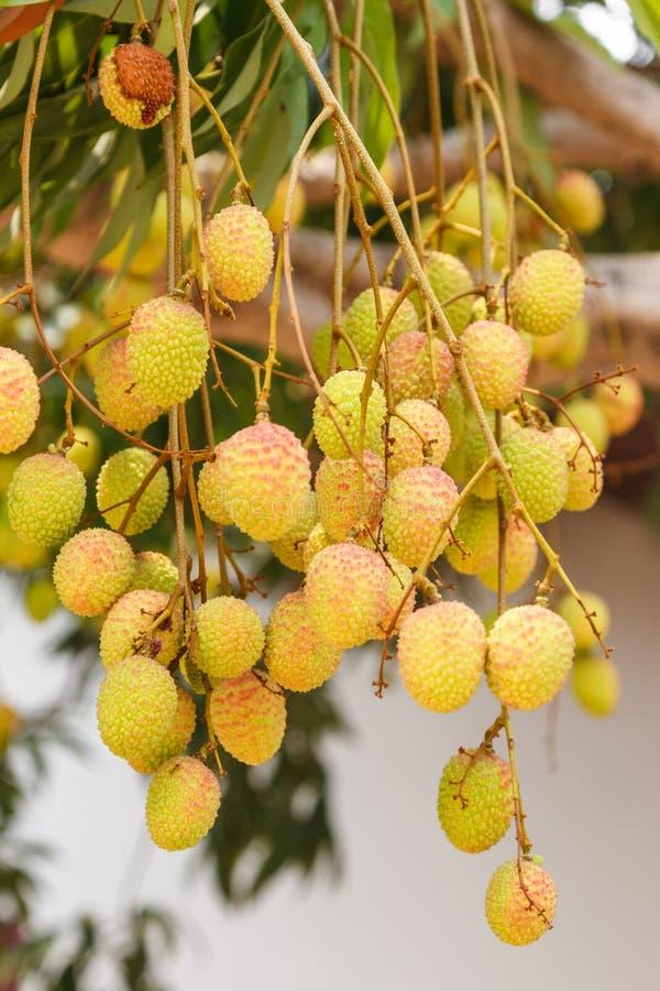 Litschifrucht auf Baum lizenzfreies stockfoto