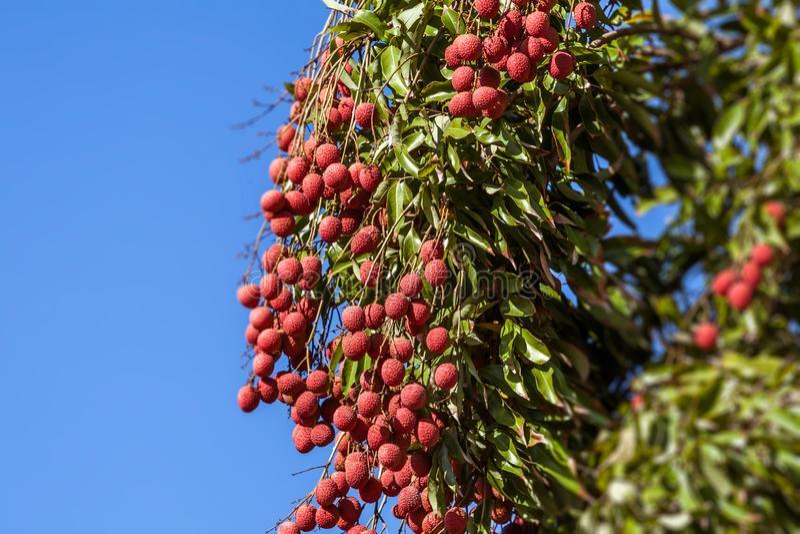 Litschis auf Baum lizenzfreies stockfoto