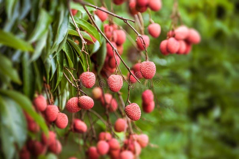 Litschis auf Baum stockfotos