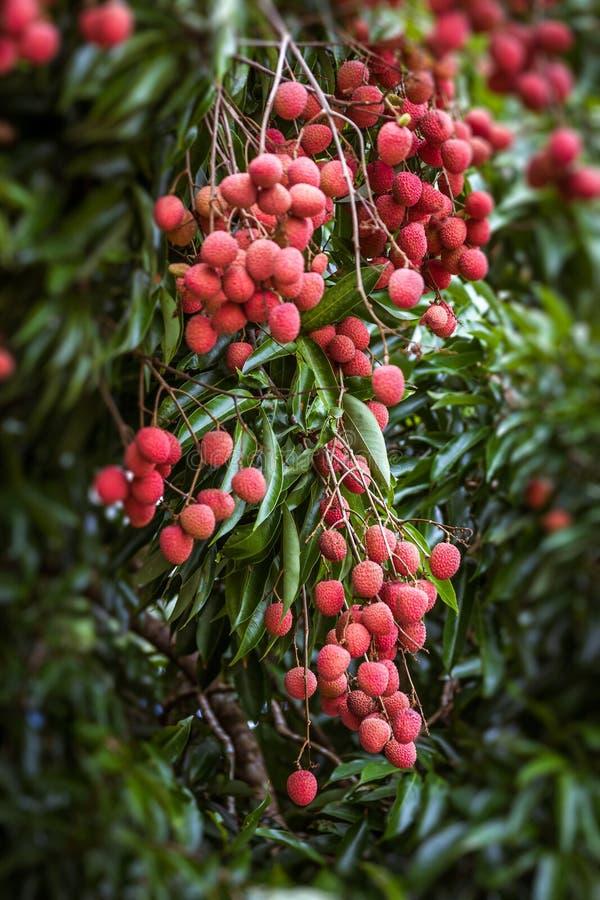 Litschis auf Baum lizenzfreie stockbilder