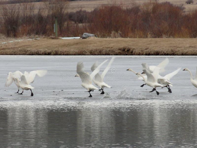 Littéralement lac swan Cygnes dansant sur la glace en hiver près de McCall, Idaho photographie stock
