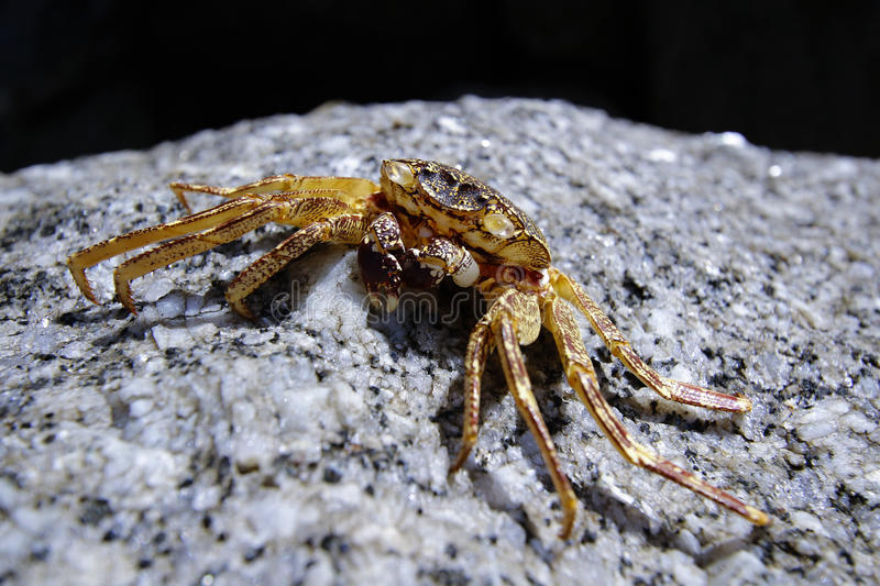 A litter crab on rock. Close up photo of litter crab on rock royalty free stock photos