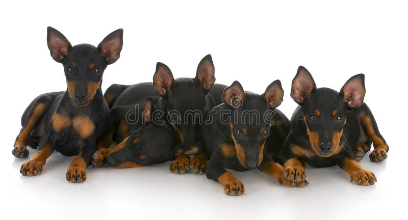 Download Litter Of Five Puppies Stock Images - Image: 16163024