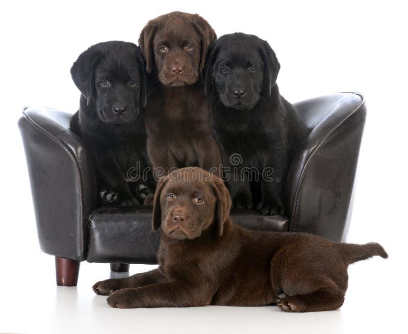 litter of labrador retriever puppies royalty free stock photos