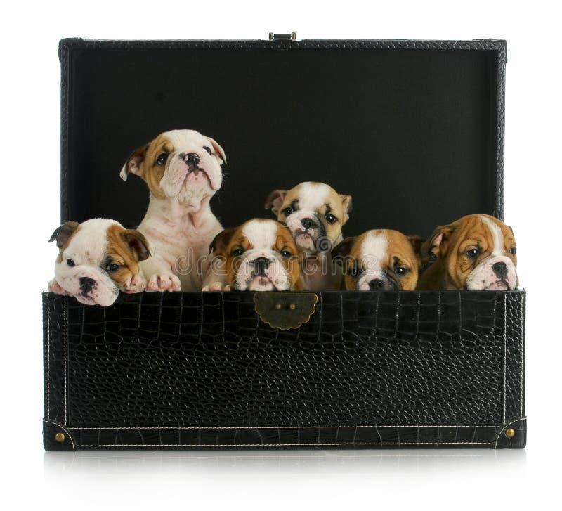 Litter Of Puppies Stock Photo