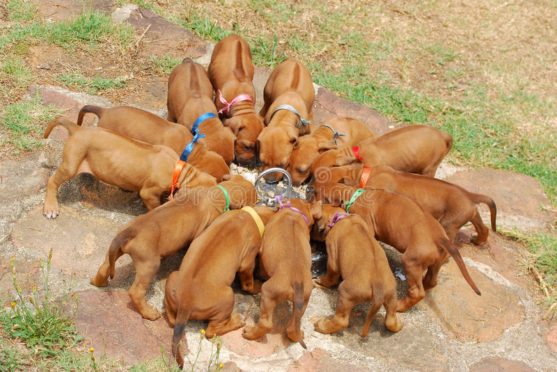 Litter of puppies. Thirteen purebred Rhodesian Ridgeback hound dog puppies feeding in a circle outdoors royalty free stock photography