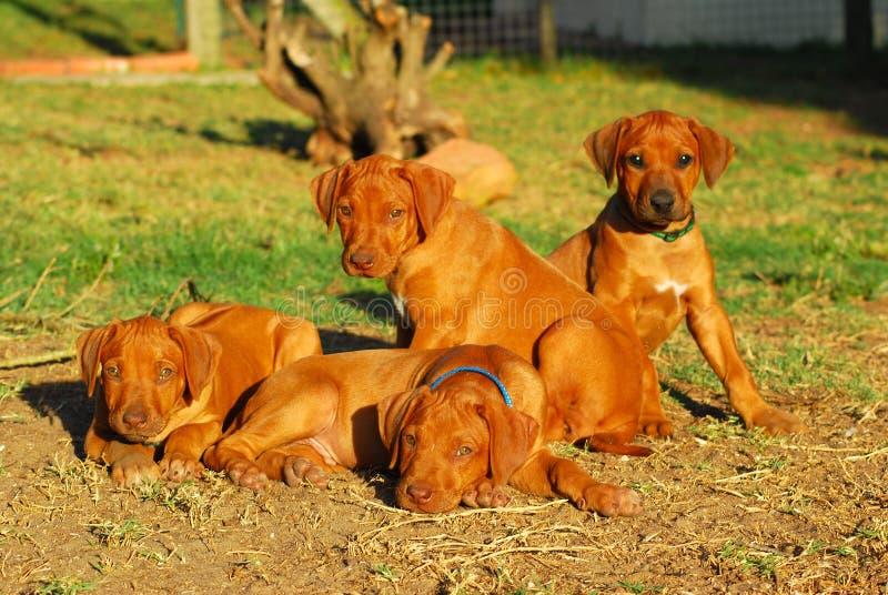 Download Litter Rhodesian puppies stock image. Image of animal - 6776993